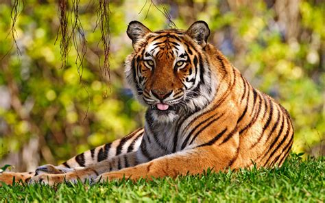 tiger widescreen wallpapers hd wallpapers id
