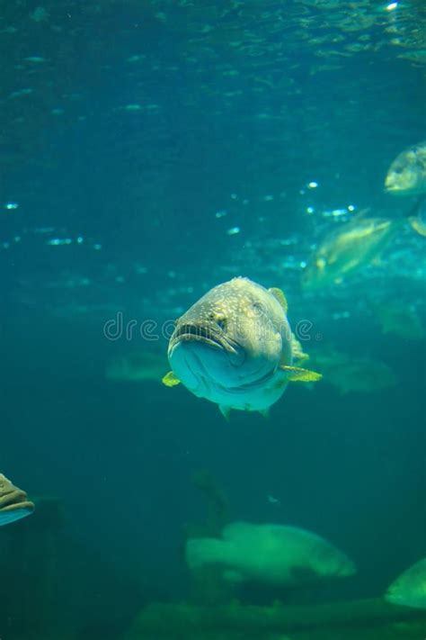 grouper spotted brown aquarium giant