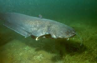 cat fish wels catfish
