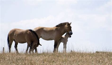 wild horses zoo calgary endangered horse born baby cbc snuggles conservation devonian wildlife centre asian