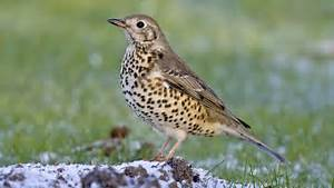 BBC Radio 4 - Tweet of the Day, Mistle Thrush (Song) Thrush