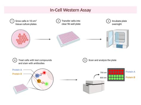 In-Cell Western Assay