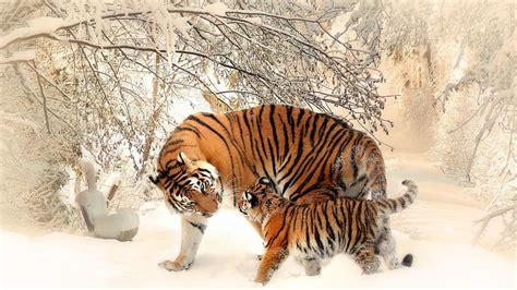wallpaper tiger tiger cub baby tiger snow  animals