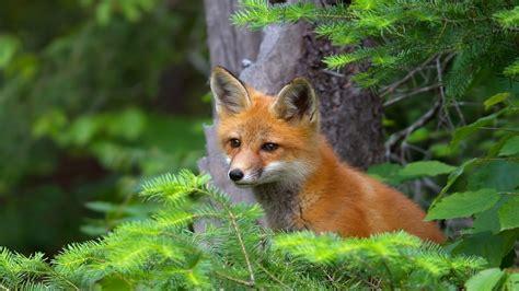 young red fox dekspot wallpaper hd