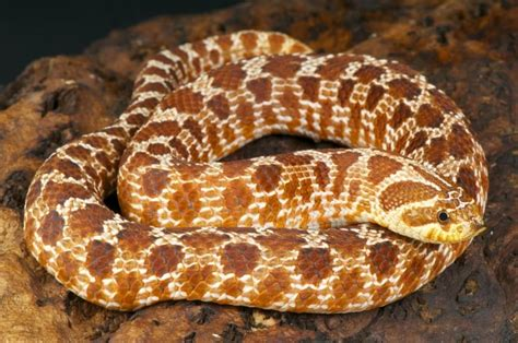 best pet snakes the 5 best small pet snakes for beginners keeping exotic pets