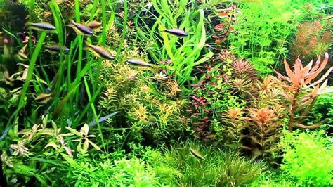 aquarium pflanzen düngen aquariumpflanzen wasserflora in einem 576l aquarium