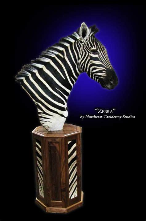 zebra pedestal mounts taxidermy pinterest pedestal