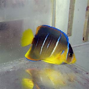 Blue Angelfish - Juvenile #A 128