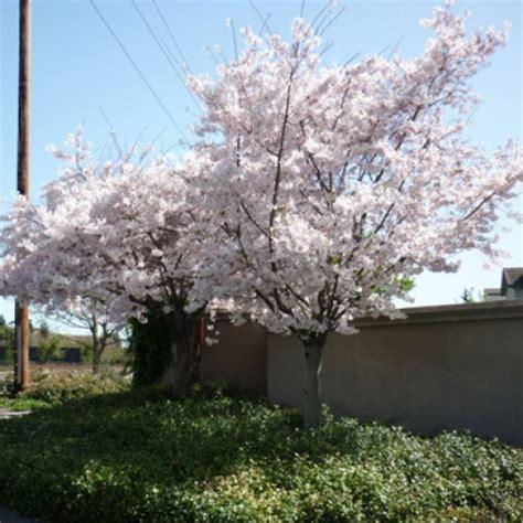 japanese flowering cherry tree prunus avium plena japanese cherry tree scotplants direct