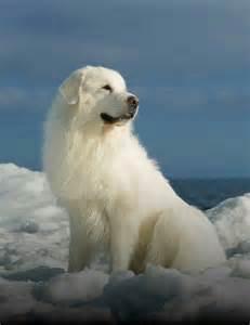 de 20 bedste id 233 er inden for great pyrenees p 229 store hunde hunde og anatolian shepherd