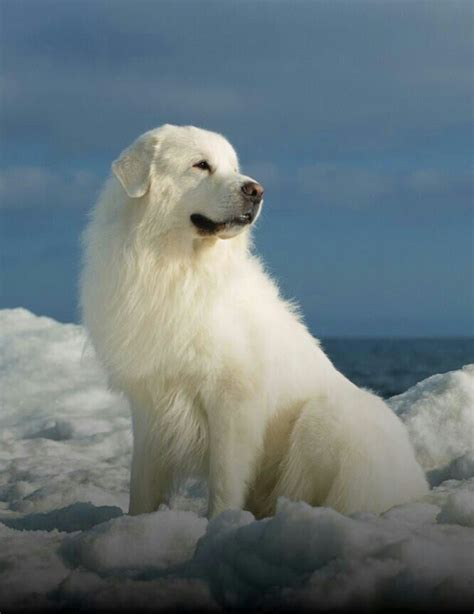 the 25 best great pyrenees dog ideas on pinterest great