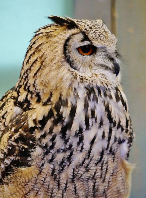17 Best Images About Raptors  Owls On Pinterest Short