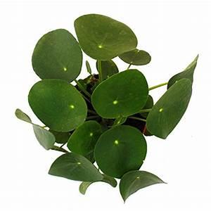 Chinesischer Geldbaum Kaufen : pilea peperomioides gl ckstaler chinesischer geldbaum ~ Michelbontemps.com Haus und Dekorationen