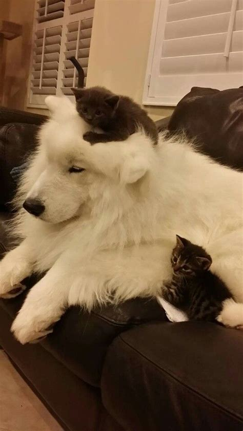 17 Best Images About Great Pyrenees On Pinterest