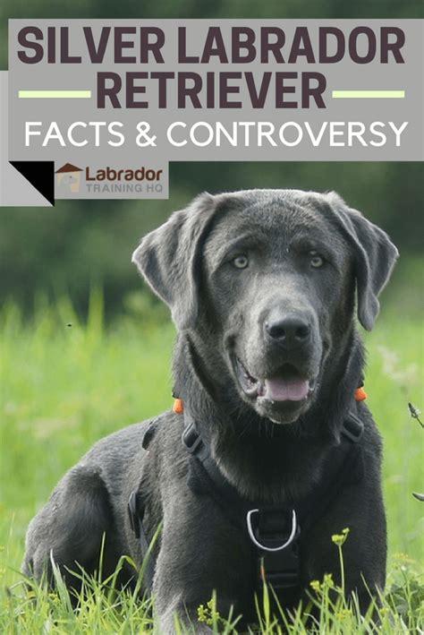 silver labrador retriever facts  controversy silver