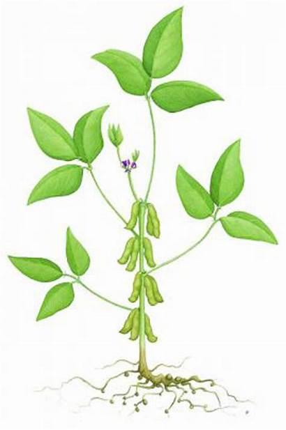 Soybean Plant Diagram Plants Crop Flickr