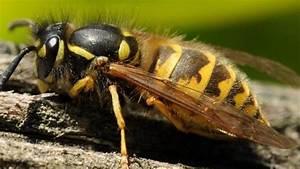 Was Essen Wespen : wespen sterben bald nester m ssen nicht entfernt werden ~ Frokenaadalensverden.com Haus und Dekorationen
