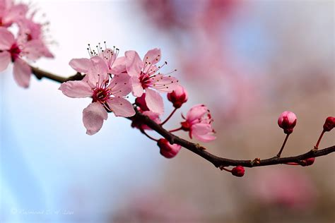 Cherry Blossom Image by Quotes About Cherry Blossoms Quotesgram