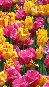 1080x1920 Colorful Tulip Flowers Wallpapers HD