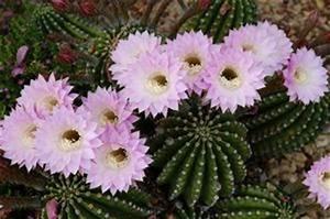 Comment Entretenir Un Cactus : comment entretenir un cactus fleur de paille ~ Nature-et-papiers.com Idées de Décoration