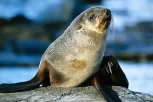 Le Otarie Globe le regard de l otarie en antarctique les animaux du
