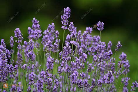 bestellen lavendel lavandula angustifolia bild