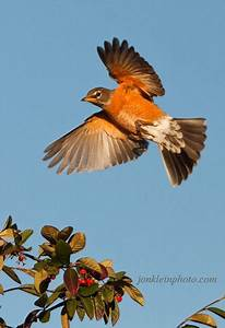 American Robin Bird Flying | www.imgkid.com - The Image ...