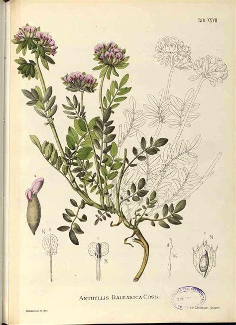 ilustracion botanica en la historia ciencia  arte