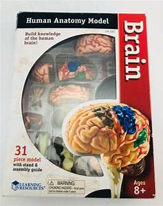 3d Human Brain Anatomical Model Medical Learning Resources