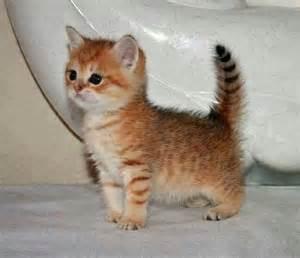 tiny cats tiny light orange kitten cats picture