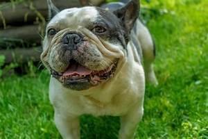 Hundebekleidung Französische Bulldogge : franz sische bulldogge steckbrief hundehaftpflicht check24 ~ Frokenaadalensverden.com Haus und Dekorationen