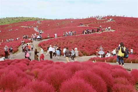Fiery Red Paradise Of Kochia At Hitachi Seaside Park