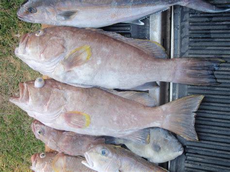 grouper yellow edge april lb