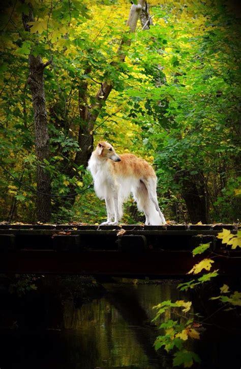 borzoi images  pinterest greyhounds doggies