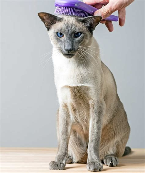do siamese cats like water