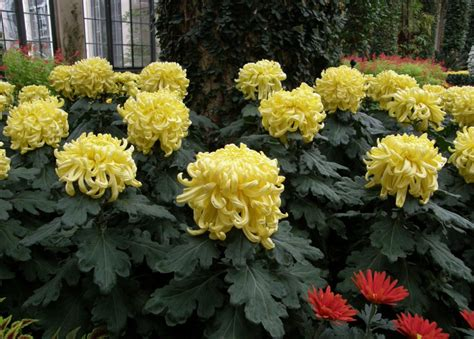 how to plant mums tips of how to look after chrysanthemum plants chrysanthemums org