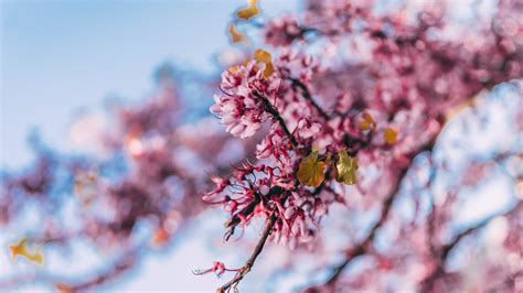 Download 1920x1080 wallpaper blossom pink flowers nature