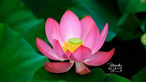 Sacred Lotus Image YouTube