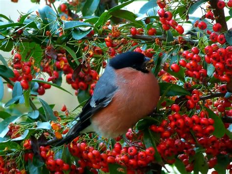 what colors are birds attracted to pyracantha berries for the birds because birds color