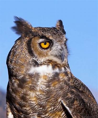 Owl Horned Species Owls Birds Nature Tufts
