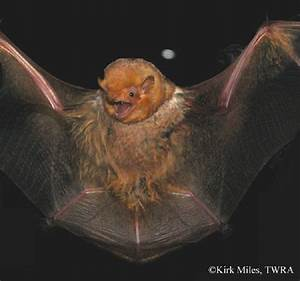 Tennessee Watchable Wildlife Eastern Red Bat