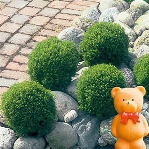 Immergrüne Pflanzen Winterhart : streichellebensbaum teddy pflanzen pinterest ~ A.2002-acura-tl-radio.info Haus und Dekorationen
