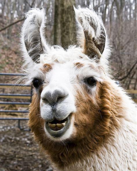 llama smiling image gallery smiling llama