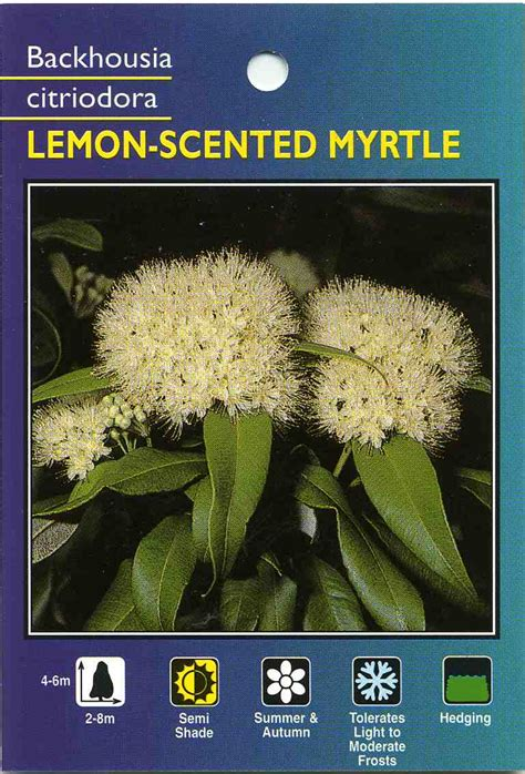 lemon scented myrtle backhousia citriodora