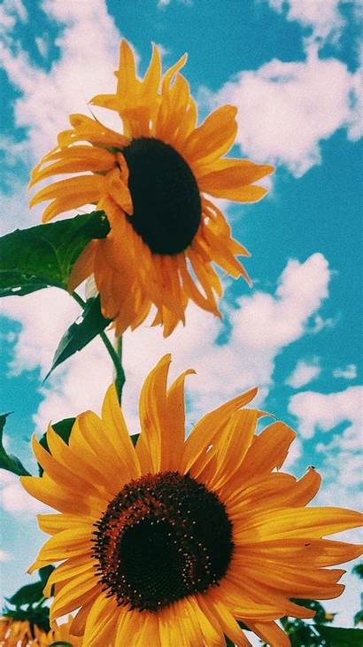 Aesthetic Sunflower Wallpapers Sunflowers Clouds Spain Remind
