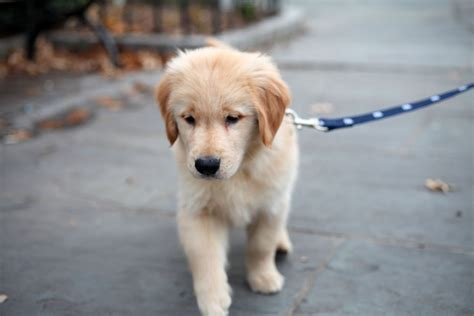 Ee  Golden Ee    Ee  Retriever Ee   Puppy Taking His First Walk On A Leash Flickr