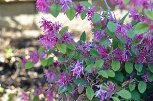 Chinese Fringe Flower: Loropetalum chinense MowryJournal com