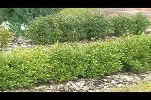 Wann Schneidet Man Kirschlorbeer : video wann schneidet man einen buchsbaum eine pflegeanleitung ~ Watch28wear.com Haus und Dekorationen