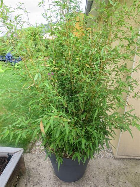 bambou facile 224 cultiver dans un pot page 2 lesbambous fr forum des fous de bambous