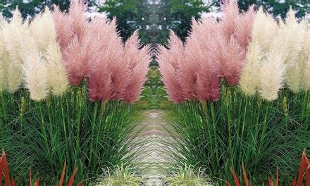 pampasgras pflanzen set groupon